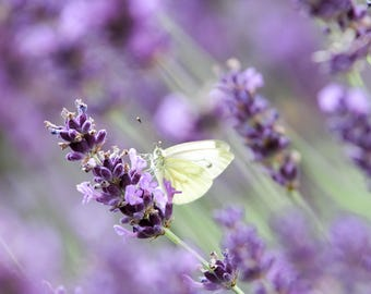 Cabbage White Butterfly amongst Lavender.
