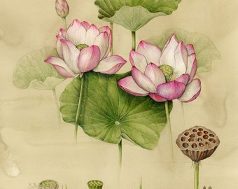 Nelumbo Nucifera (Pink Lilly) elixir: The Sacred Lotus from India