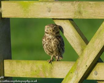 Little Owl perched on a farm gate - Photograph