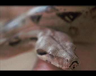 boa-constrictor Photo Framed