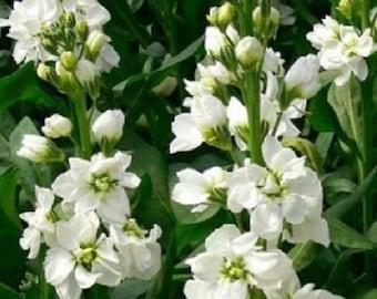 50+ White Evening Matthiola Stock Flower Seeds