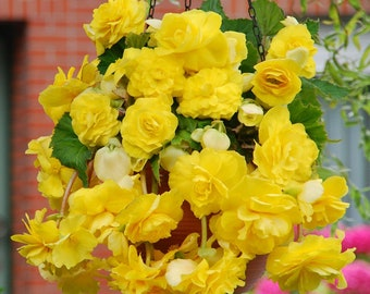 2 Giant Pendula Yellow Begonia Bulb 7+cm Great in Hanging basket! shipping April 2018