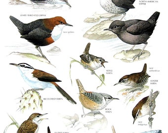 Vintage Bird Print - White Throated Dipper, Bicolored Wren, Rock Wren, Flutist Wren, Zapata Wren - 1990 Vintage Book Page - 11 x 9