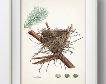 Blue Jay Bird Nest - NE-02 - Rustic woodland fine art print of a vintage natural history antique illustration