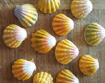 Hawaiian Sunrise Shells, Pecten Langfordi, Hawaiian seashells, moonrise shell, beach gift, bulk seashells, surfer gift, mermaid gift