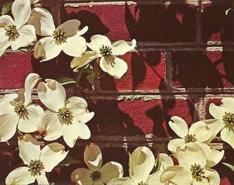 Vintage 1950s Postcard Virginia State Flower Dogwood Pretty Flora View Cornus Conaceae Photochrome Era Postally Unused
