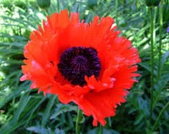 Orange Scarlet Orientale Poppy Flower Seeds / Papaver/ Perennial  50+