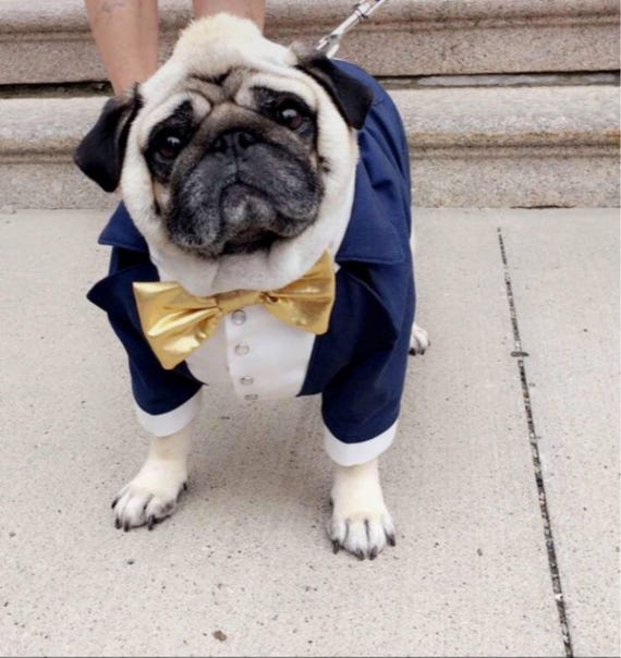 Royal blue dog tuxedo with golden bow tie Dog wedding attire