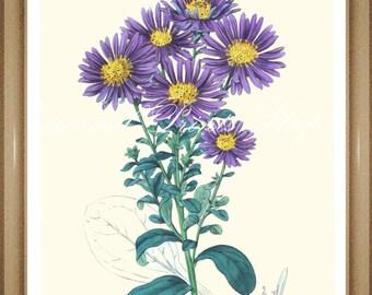 "Aster Print.  Purple Flower Print. Botanical Print. Michaelmas daisy. 8x10"" 11x14"""