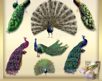 7 Peacock Clipart Vol. 1, antique peacock illustrations, peacock feather clip art, peacock  graphics -  Instant Download - png files