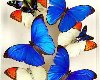 9  x 12 Blue Morpho Display with Orange tip butterflies