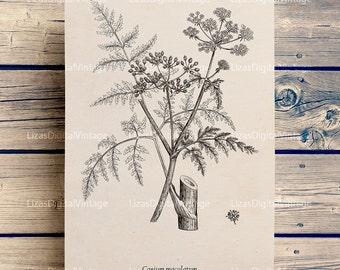 Botanical print, Botanical printable, Printable graphics, Instant download print, Conium image, Botanical art prints, PNG JPG 300dpi