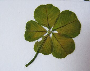 Real Four Leaf Clover