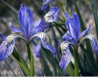 30+  IRIS MISSOURIENSIS, WILD Western Iris / Perennial, Deer & Rabbit Resistant Flower Seeds