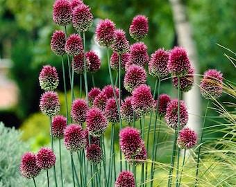 20  Seeds Allium sphaerocephalon Seeds, Drumstick Allium Seeds