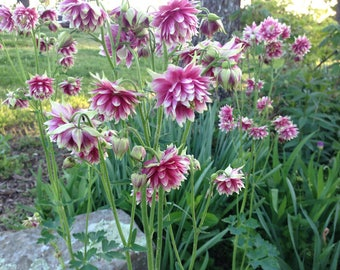 Nora Barlow Columbine Seed, Double Pink Columbines, Easy to Grow Perennial Garden Seeds, Cottage Style Flower Garden Favorite