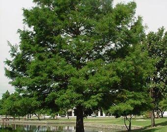 Organically Grown Florida Cypress Tree