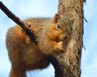 "Animal Photo, Wildlife Photography, Sanford Natural Area, Michigan, Nature Print, ""Treetop Squirrel"", Fine Art Photography, Telephoto Shot"
