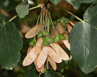 10 Acer opalus Seeds variety,  tomentosa Italian maple Seeds