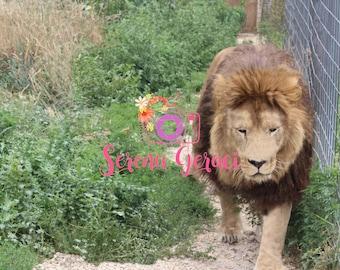 Bam Bam the lion