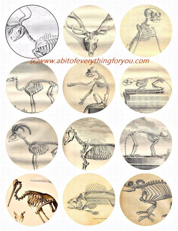 animal anatomy vintage art art clip art digital download collage sheet 2.5 inch circles science graphics images craft printables