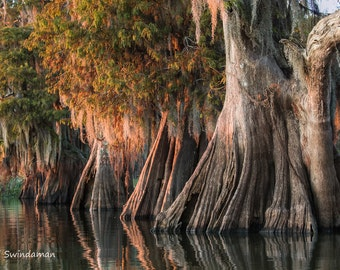 Louisiana Cypress Swamp - Large Ancient Cypress Trees Two