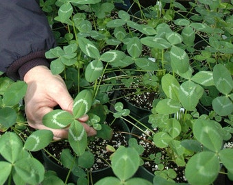 Apache Arrow Leaf Clover Seed - Wildlife Food Plot