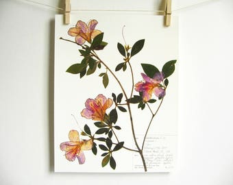 Azalea Print; dried flower art botanical wall art pressed flowers art gift for gardeners herbarium botanical print new orleans art 227b