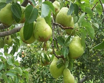100 Bartlett Pear Tree Seeds, Pyrus Communis Bartlett