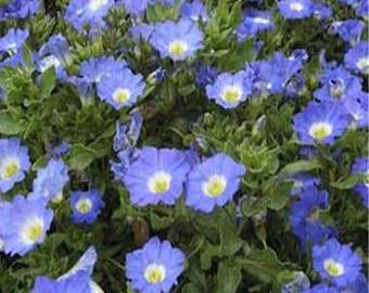 Chilean Blue Bellflower Flower Seeds/Nolana Paradoxa/Annual     50+