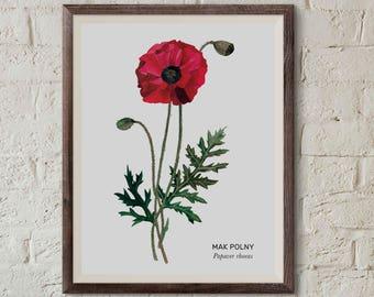 Mak polny, Poppyflower (Papaver rhoeas) - illustration - print