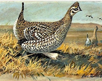 Vintage Wildlife Postcard - The Sharp-tailed Grouse -- Artist Signed, Louis Agassiz Fuertes (Unused)