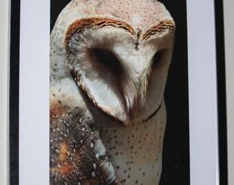 Barn Owl Portrait Print
