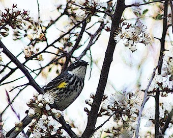Yellow-rumped Warbler in a Wild Cherry Tree, stylized photograph, posterized effect, instant digital download, 5x5 jpg