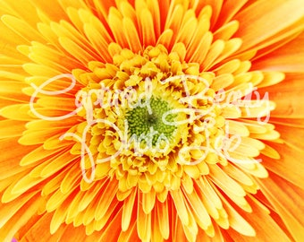 Macro Yellow Gerbera Daisy Photography, Yellow Flower, Gerber Daisy, Print, Bright yellow, Macro Photography, Home Decor