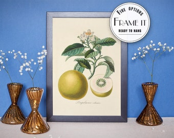 "Vintage illustration of grapefruit - framed fine art print, botanical art, kitchen decor 8""x10"" ; 11""x14"", FREE SHIPPING 13"