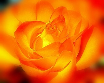 Photo Rose - The Glowing Rose