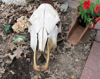 Real Cow Skull found in the Wild Bleach by the Sun