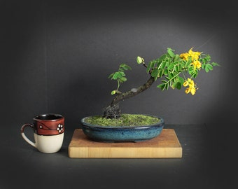 Cassia Bonsai Tree, Exotics Collection from LiveBonsaiTree