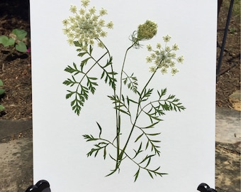 Real Pressed Flower Art Pressed Botanical Art Herbarium of Queen Anne's Lace 11x14 OR 16x20