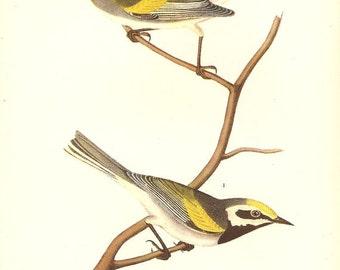 Old 1937 JOHN JAMES AUDUBON The Birds Of America Book Plate Golden - Winged Warbler (479)