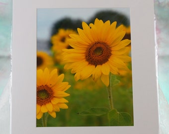 Sunflowers matted photo