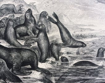 1892 Sea Lions Original Antique Engraving - Marine Wildlife - Wall Decor - matted and ready to frame 10 x 12 inches - Seal