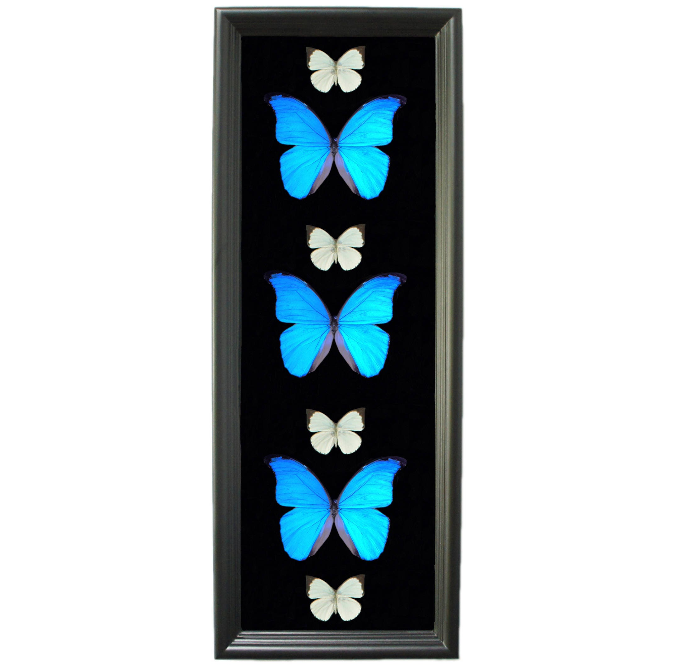 Real Butterfly Taxidermy Butterfly Framed Art Butterfly