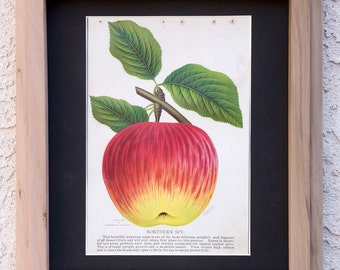 1902 Chromolithograph Northern Spy Apple framed in hand-milled apple wood