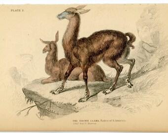 1838 LAMA ENGRAVING - brown llama - original antique print - native of south america