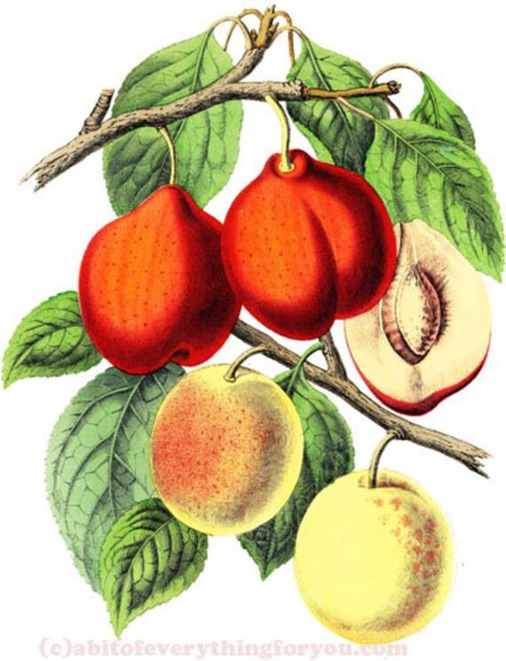 "fruit botanical necturines art printable download digital image graphics downloadable garden nature artwork 7"" x 9"""