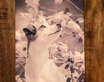 Jack Russell Terrier Canvas Wall Art