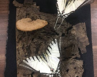 Butterfly shadow box (6x8)