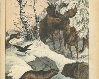Antique Original Natural History Hand Colored Lithograph print, Moose  , Rare interesting